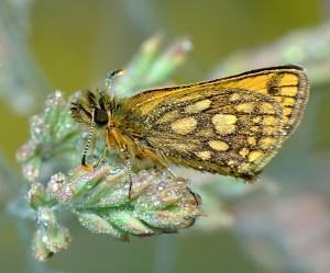 Butterfly in morning dew